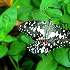 Joys of gardening-Basil & Butterfly